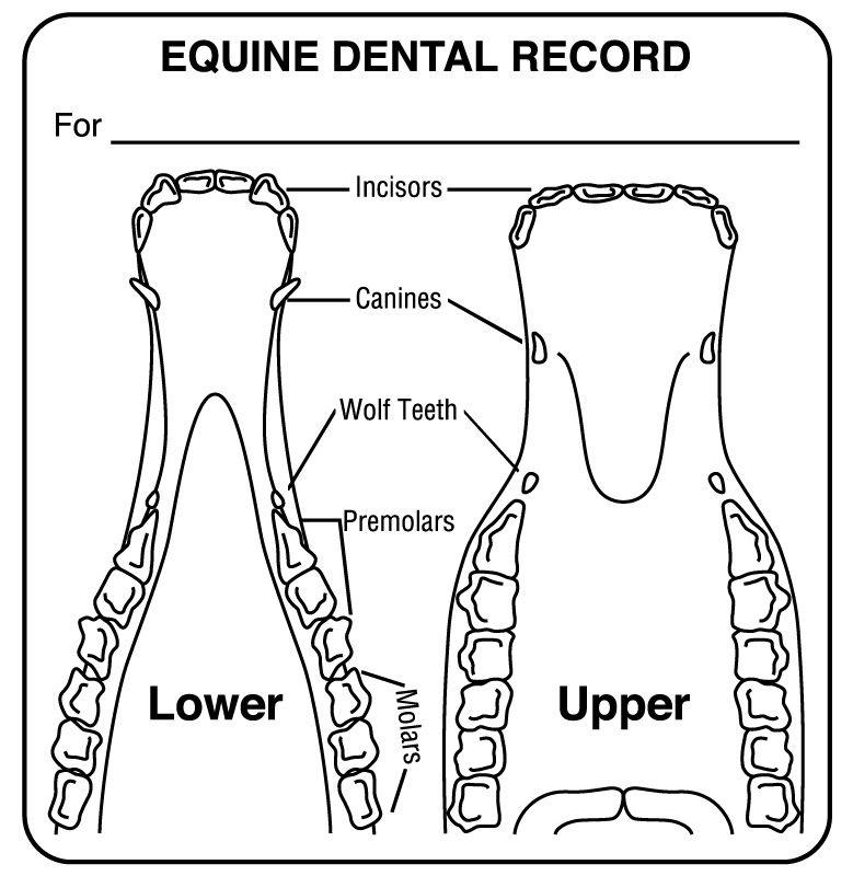 "Equine Dental Record Label, 2-1/2"" X 2-1/2 """